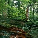 Dobročský prales, Veporské vrchy, Banskobystrický kraj, stredné Slovensko